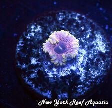 New York Reef Aquatic - 0916 A10 Guano Zoanthid Wysiwyg Live Coral