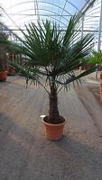 Trachycarpus fortunei 170 Stamm 50 cm / Hanfpalme - Winterharte Palme