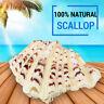 Natural Sea Shells 10-12 cm Fan Shaped Scallop Clam Crafts Decor Beach Marine !