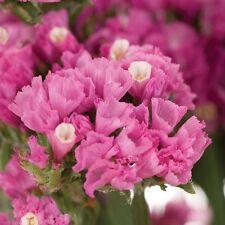Forever Rose Statice (Limonium sinuata) Seeds Good Cut & Dried Flower Perennial