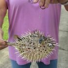 9 inch Porcupine Blowfish Puffer fish w/hanger taxidermy #43407