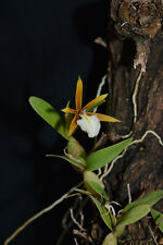 New listing Epidendrum (Dinema) polybulbon. Mounted miniature orchid in flower