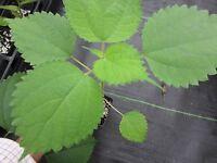 "2 RARE Plants Vietnam La Gai ~12"" Ramie Culinary Spice Herb Boehmeria nivea"