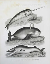 1812 Whale Unicorn Narwhal Common Whale Pike Headed Antique Engraving Print Rees