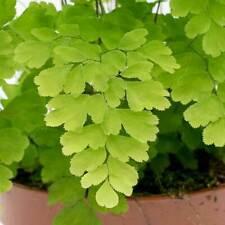 "Adiantum raddianum Fragrans -Maidenhair Fern Plant in 3.5 "" pot"