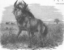 LONDON. Gnu, Zoological Society's, Regent's Park, antique print, 1856