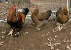 Brahma- Partridge Fertile Eggs 6+2  Free