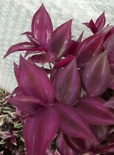 Tradescantia zebrina 'Purple Joy' - Purpurea - 1 cutting rooted