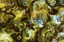 5 trees Corkscrew Willow 2 foot tall bareroot