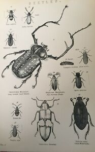 ANTIQUE PRINT 1870S BEETLES ENGRAVING LEAF BEETLE GLOW WORM WATER BEETLE INSECTS