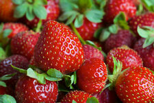 10 EVERSWEET EVER BEARING STRAWBERRY PLANTS - Large, Sweet & Juicy berries