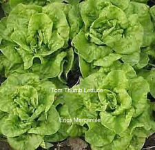 """Tom Thumb""""  Lettuce Seeds - Heirloom Non GMO Non Hybrid 100 Seeds Free Shipping"""