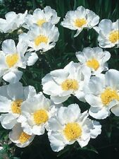 Peony/Peonies Plant[Krinkled White] 3 To 5 Eyes