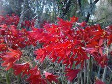 50 Rhodophiala Bifida OXBLOOD Lily SMALL BULBS ~~ Mini Red Amaryllis Relative