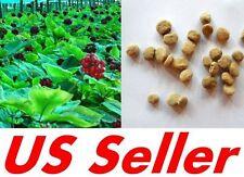 25 PCS Stratified WILD APPALACHIAN American Ginseng Seeds E45, Grow Ginsang Root