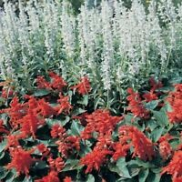 Salvia- White Victory- 50 Seeds-