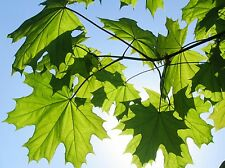 Xl Maple Tree Seedling 2'-3'