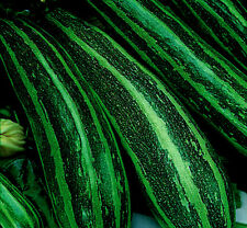 Vegetal Calabaza Verde Largo Verde MATORRAL 4 35 semillas