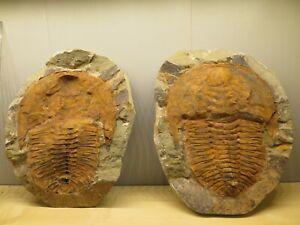 Crystal & Fossil Art - Single Large Rare Genuine Trilobite Fossil