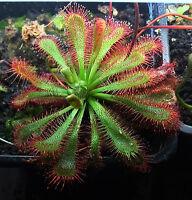 Drosera Spatulata (Beenak, Victoria) 30 Samen Carnivoren Sonnentau sundew seeds