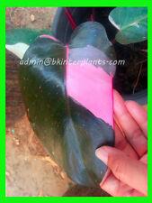 "Rare PHILODENDRON ""Pink Princess Variegated"" 3 Color Variegated Leaf Don't miss@"