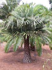*10 fresh Seeds*copernicia cerifera(prunifera)*wax palm*free shipping*