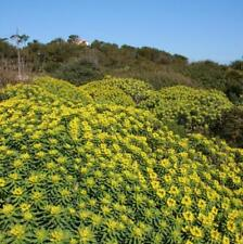 Euphorbia dendroides-Arbre Euphorbe en 9 cm pot