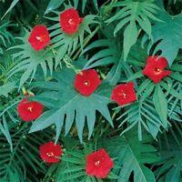 Cardinal Climber (Ipomoea Quamoclit Cardinalis)- 25 seeds