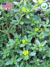500++ Seeds Heirloom Herb Portulaca oleracea GREEN PURSLANE Culinary Medicinal