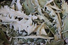 Mandrake Mandragora officinarum Dry Leaves 50 gram Fresh WILD Harvested 2019