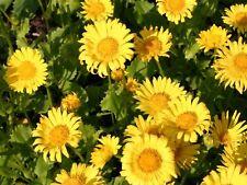 3 x Doronicum 'Little Leo' Jumbo Plug Plant Hardy Perennial Attracts Pollinators