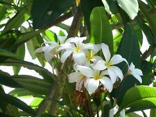 (2) White Plumeria Cutting Frangipani Tropical Florida Cuttings