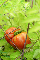 Tomate Cherokee Tiger Large 10+ Samen - Saatgut - BESONDERS und FEIN!