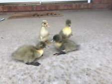 12+ Special Duck Hatching Eggs