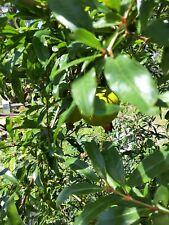 4 Pcs Wonderful Pomegranate Cuttings Scions