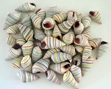 Land snails seashells Candy striped (50 shells) Liguus virgineus
