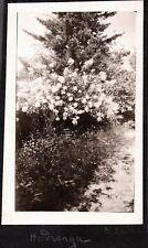 VINTAGE PHOTOGRAPH 1926 FLOWER BUSH GARDEN BLOWING ROCK NORTH CAROLINA OLD PHOTO