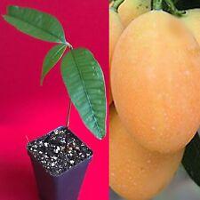 Maprang Bouea Macrophylla Marian Plum Gandaria Potted Fruit Tree Plant