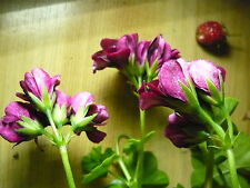 2 Ivy Geranium cuttings~Royal Knight ~Geranium Contessa Purple~aka Black Magic