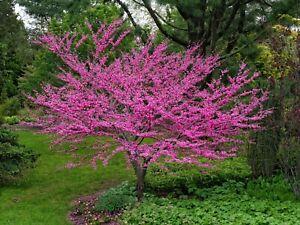 30 Eastern Redbud tree seeds