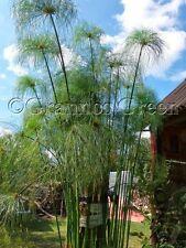 Cyperus papyrus - Egyptian papyrus - 100+ seeds - decorative plant - rare