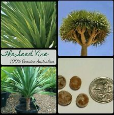 5 DRAGON BLOOD TREE SEEDS (Dracaena Draco) Monocot Drought Tolerant Sub Tropical