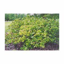 Calycanthus - Eastern Sweetshrub - Established - 1 Plant in 2 Gallon Pot