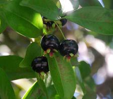 Grumichama Black  Fruit Tree plant  - Eugenia dombeyi