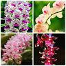 100pcs Cymbidium Orchid African Cymbidium Seeds Bonsai Rare Flower Seeds Garden