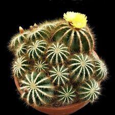 Balloon Cactus Seeds (Notocactus Magnificus) 25+Seeds