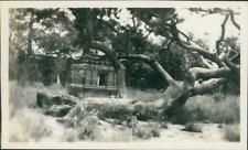China, Peking, Dragon Claws Pine Tree of Ming Tombs  Vintage silver print. Beiji
