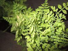 Bursera filicifolia 10 Seeds Aromatic Copal Bursera filicifolia Seeds 10 Seeds