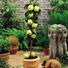 Dwarf Apple Seeds - GRANNY SMITH - Crisp, Tart Fruit - Organic - 10 Seeds