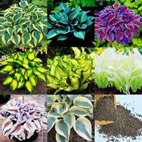 200 gemischte Farbe Hosta Plantaginea Samen duftende Wegerich Bonsai Pflanze